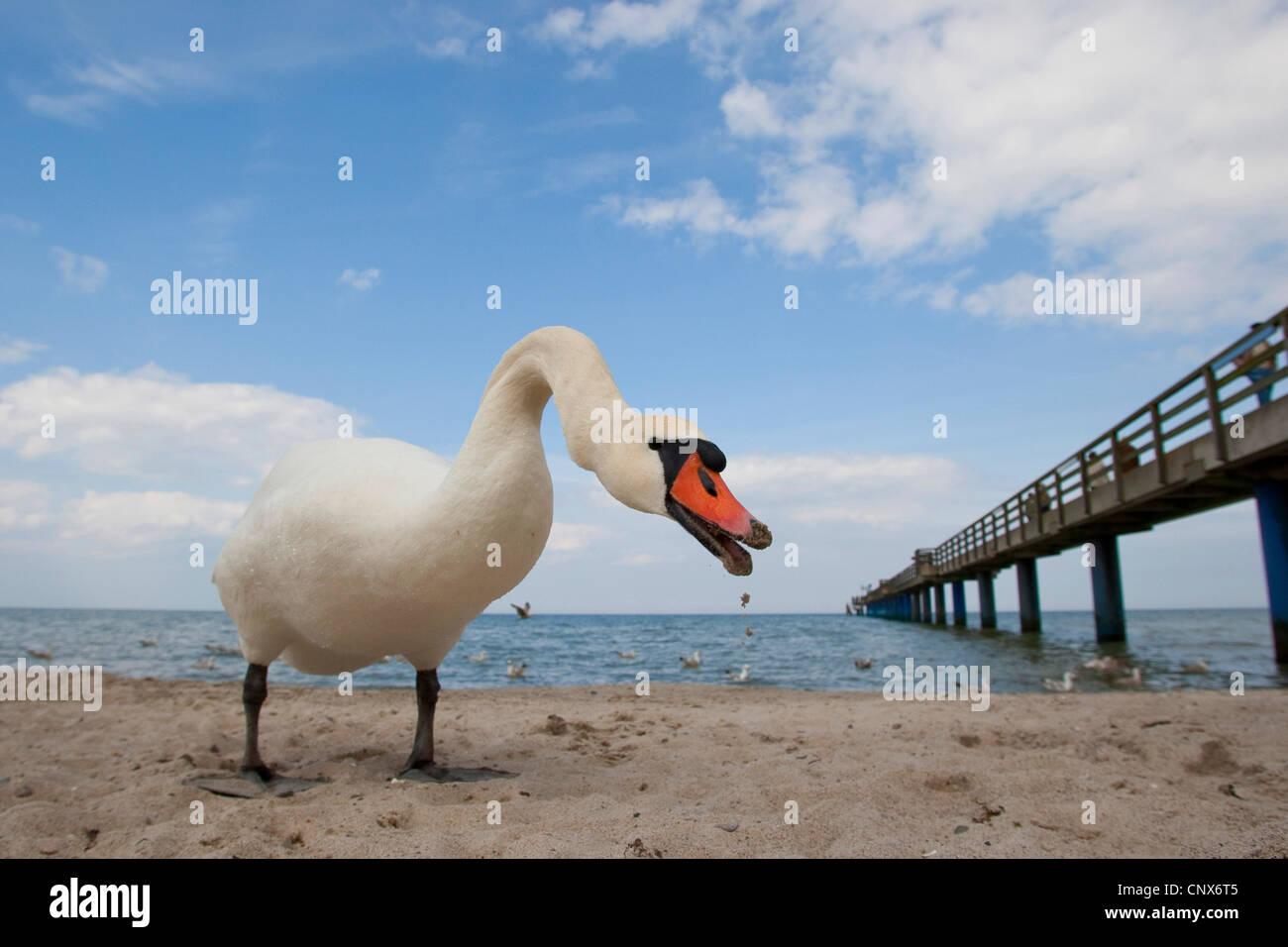 Mute swan (Cygnus olor), mal menaçant, Allemagne Photo Stock