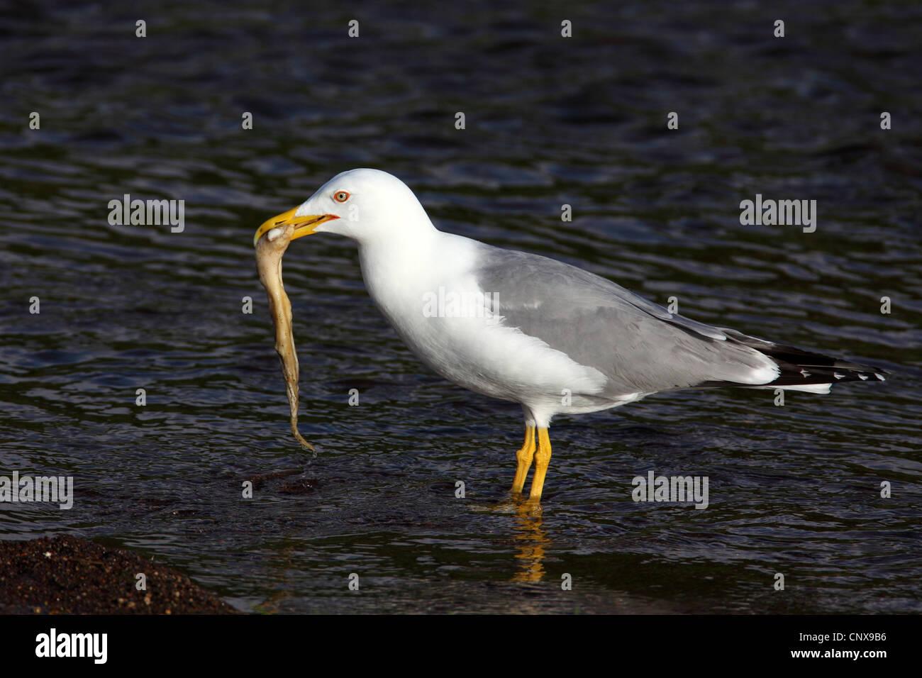 Yellow-legged Gull (Larus cachinnans), comité permanent de l'eau avec un inshallow calamar dans son bec, Grèce, Banque D'Images