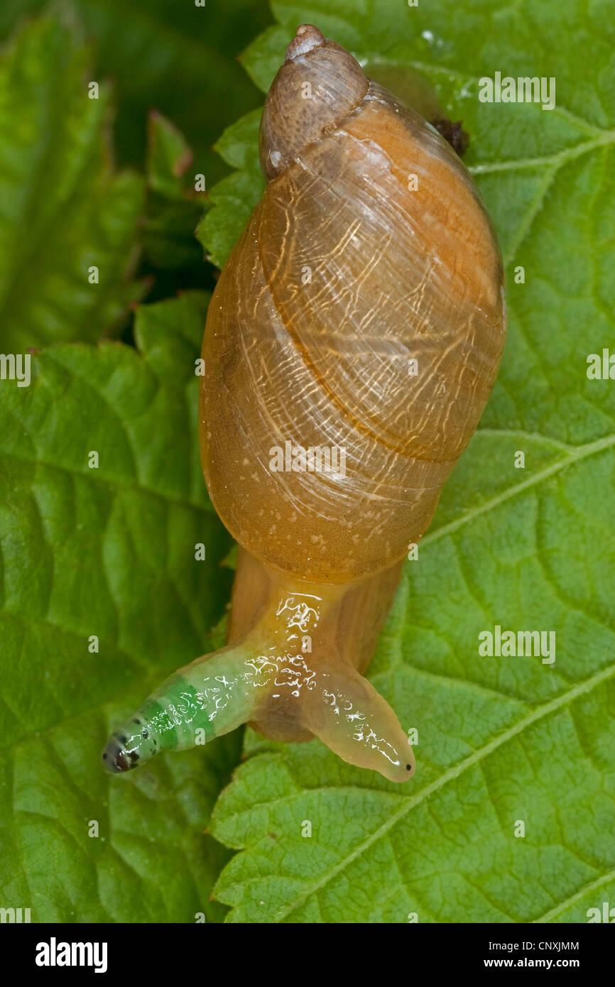 Escargot orange pourrie, grand escargot orange, O. h. kanabensis (Succinea putris européenne), avec l'antenne en Banque D'Images