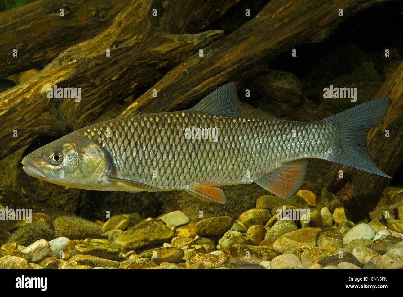 Gravelier (Leuciscus cephalus), plus de shingle Photo Stock