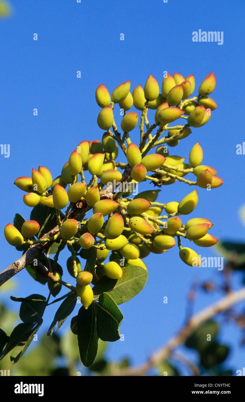 PISTACIA VERA    l/'arbre à pistaches
