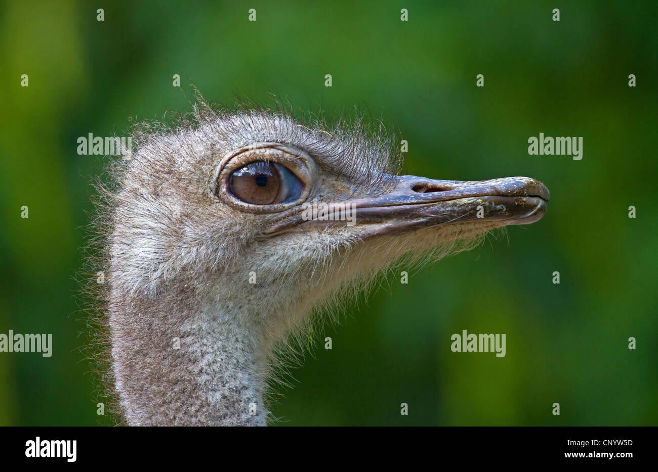 Autruche (Struthio camelus australis), portrait, Allemagne Banque D'Images