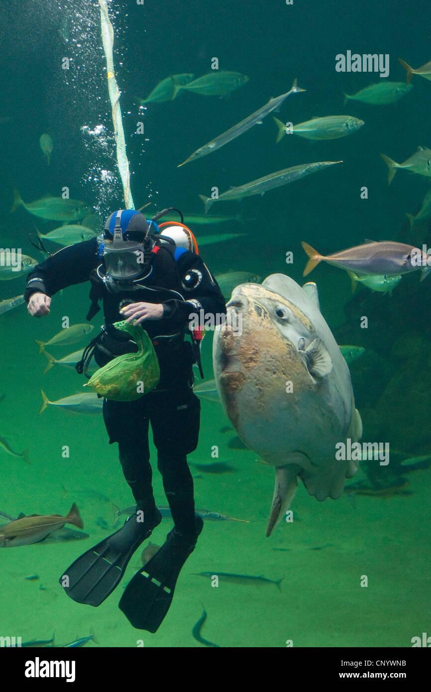 Ocean poisson-lune (Mola mola), plongeur suspensivores dans un énorme réservoir de poissons Photo Stock