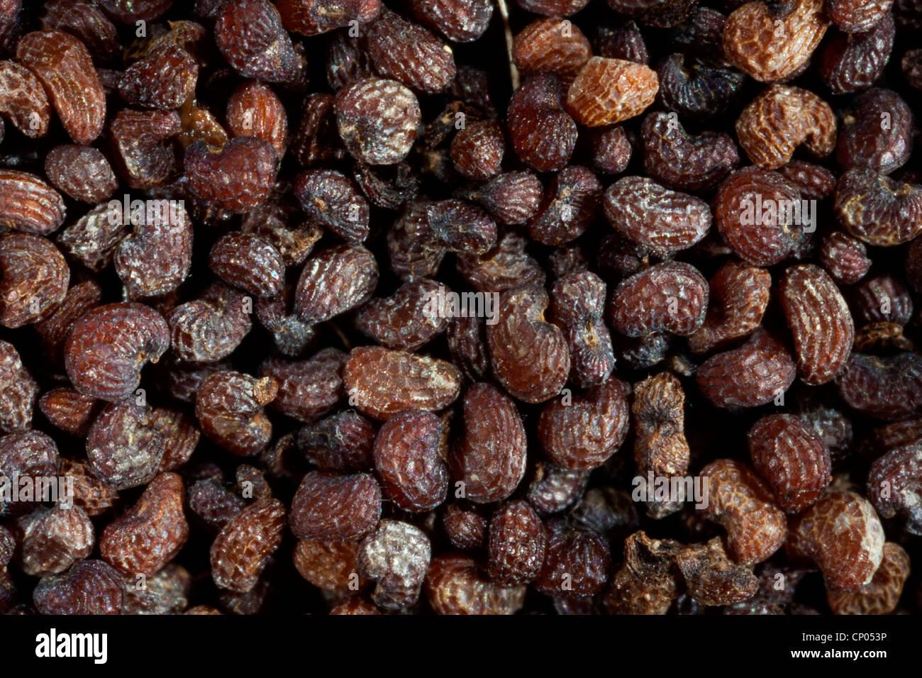 Le pavot (Papaver spec.), les graines d'un coquelicot Photo Stock