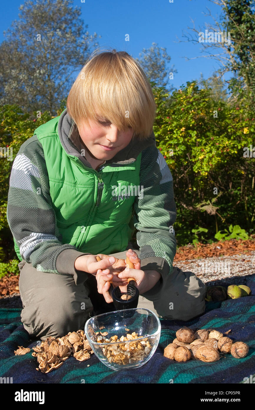Noyer (Juglans regia), garçon de genou sur une couverture noix de fissuration Photo Stock