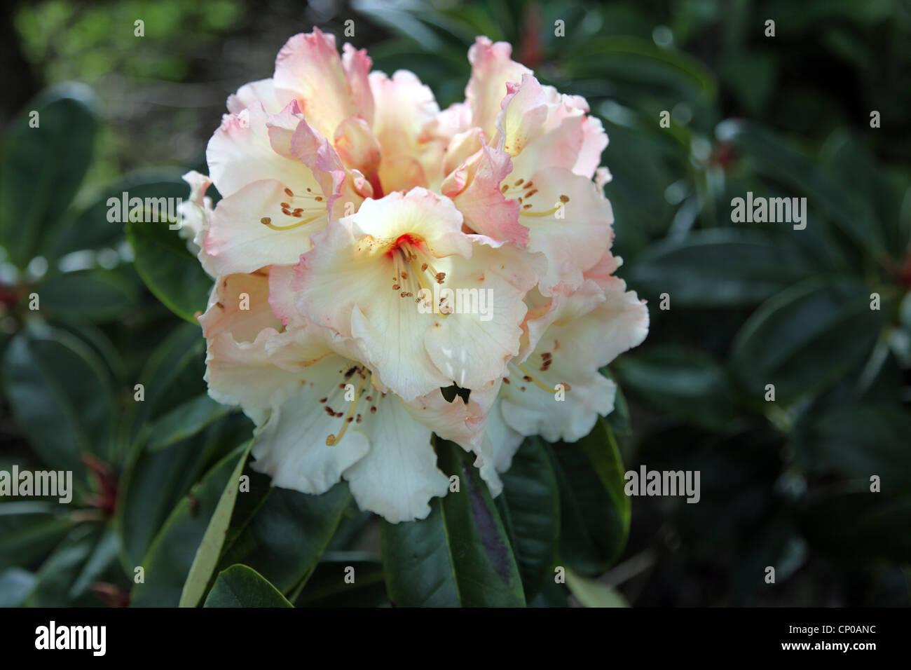 Horizon RHODODENDRON Rhododendron fleuri, grand monarque Photo Stock