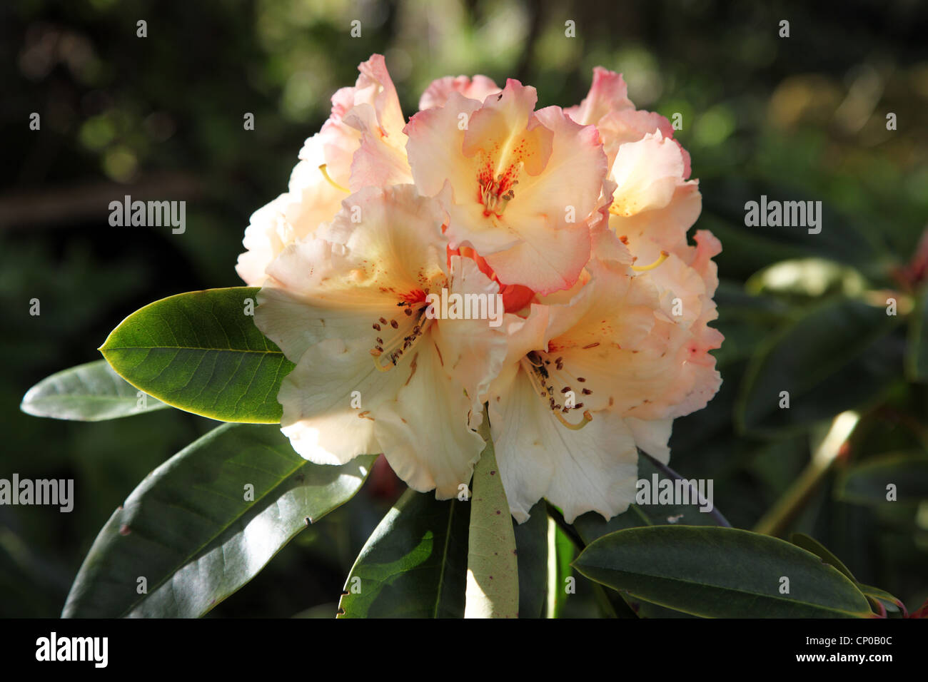 Rhododendron Horizon Monarch Photo Stock