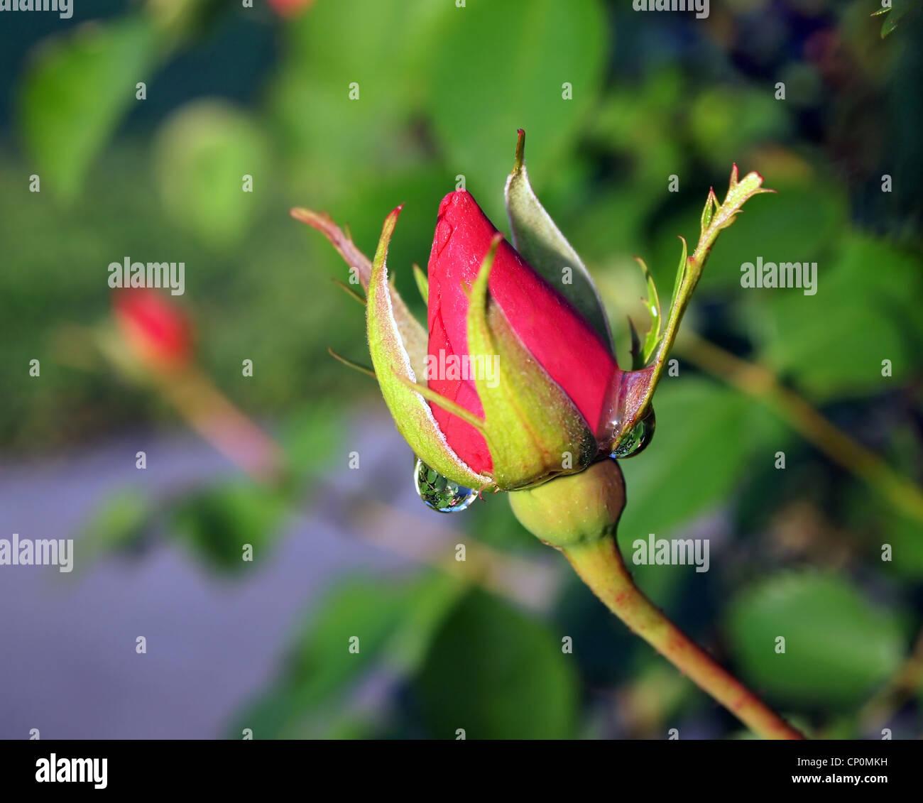 Rose, rose, fleur, jardin, jardin botanique, rosée, l'eau goutte., réfraction, réflexion, printemps, Photo Stock