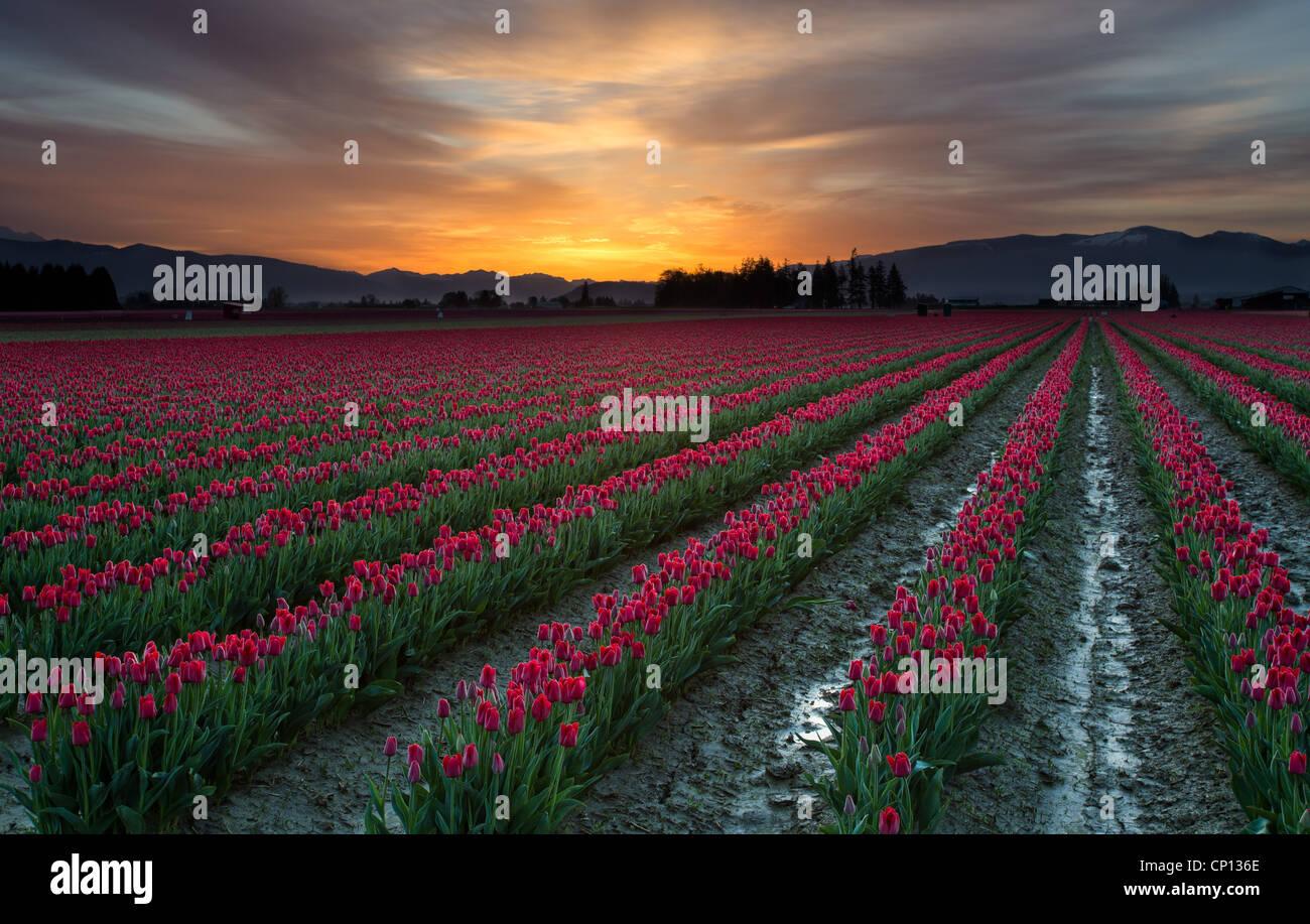 Champs de tulipes au lever du soleil dans la vallée de la Skagit à Mount Vernon, Washington, au cours Photo Stock