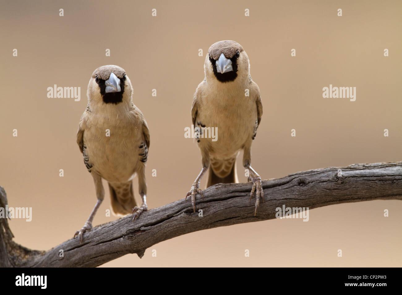 Deux sociable weaver oiseaux posés côte à côte sur une branche Photo Stock