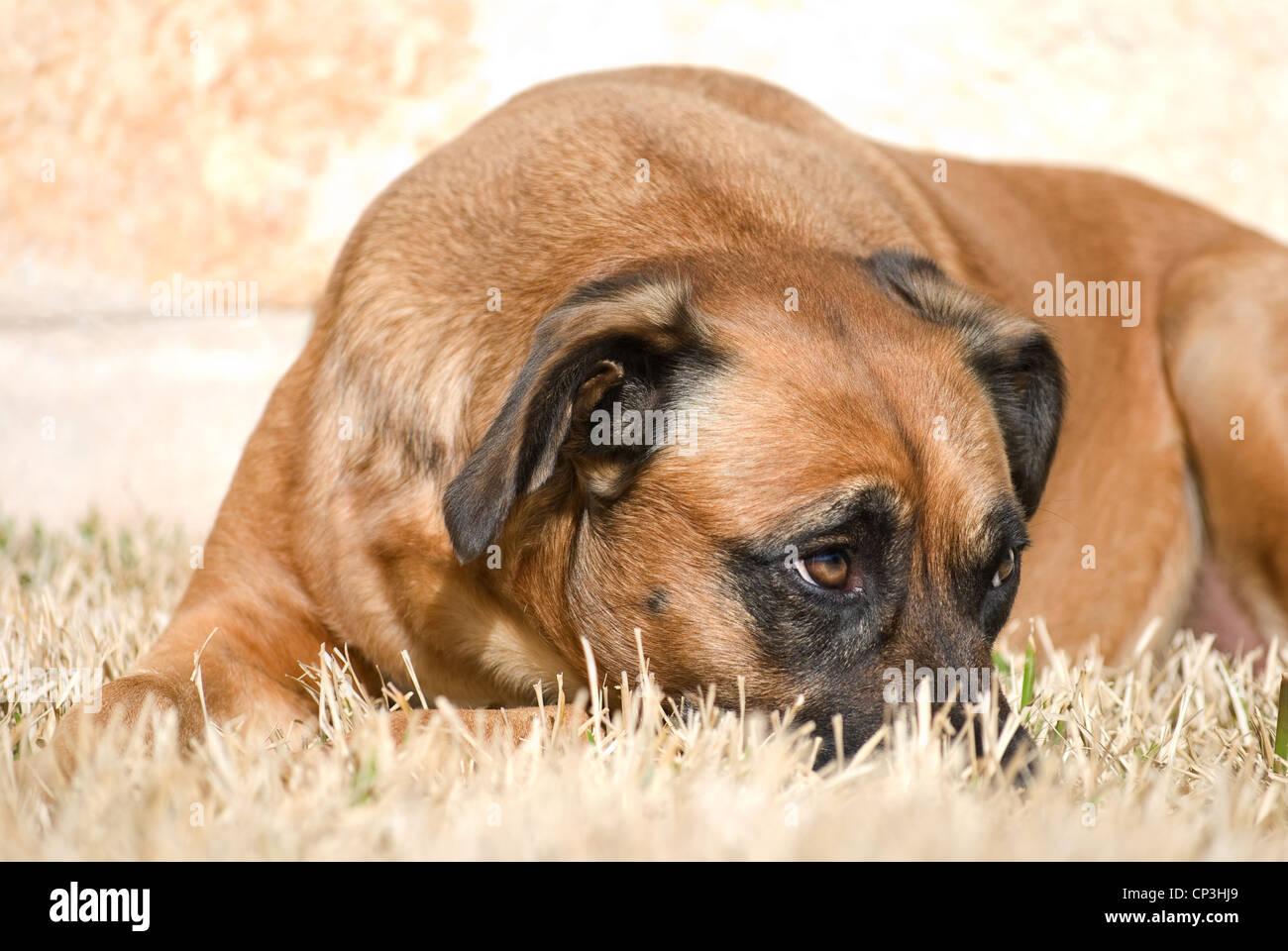 Chien avec Expression penaud Photo Stock