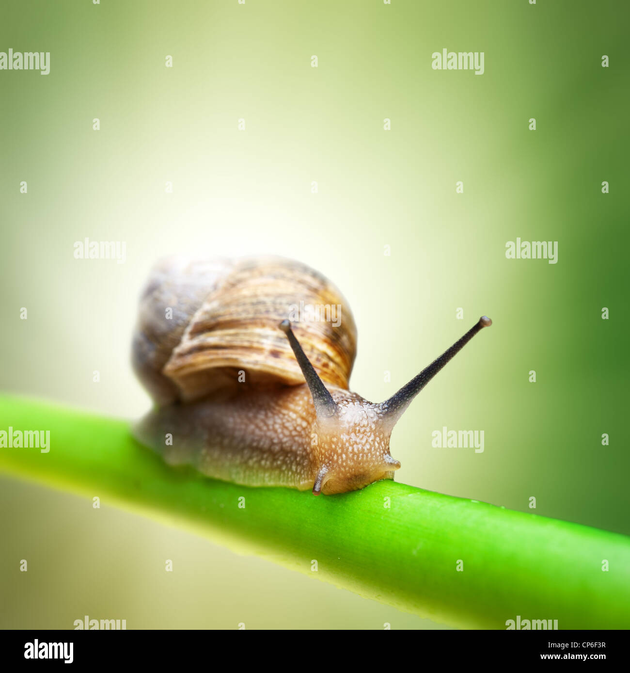 Escargot rampant sur tige verte Photo Stock