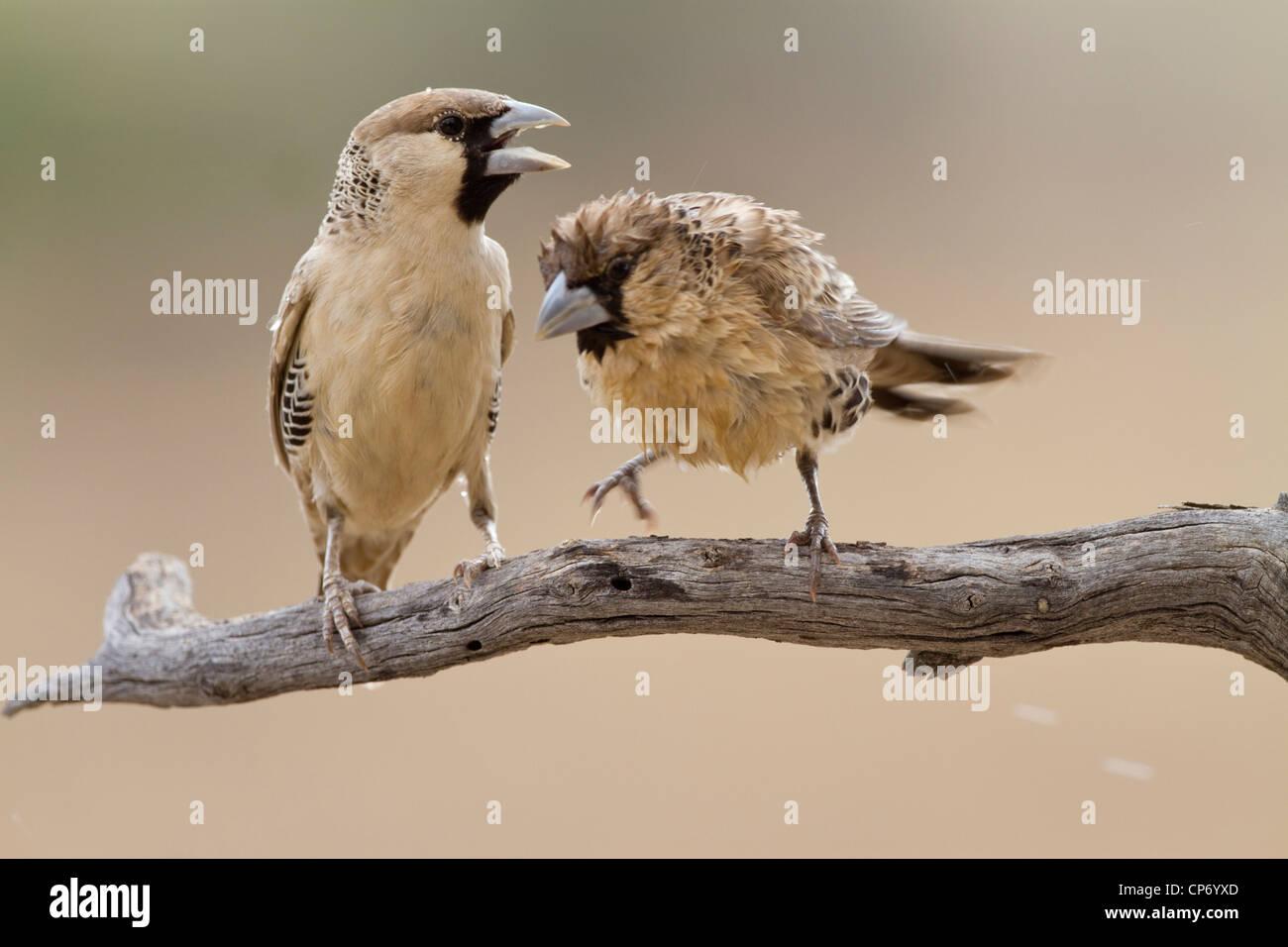 Deux sociable weaver oiseaux sur une branche l'un d'un birdbath frais humide Photo Stock