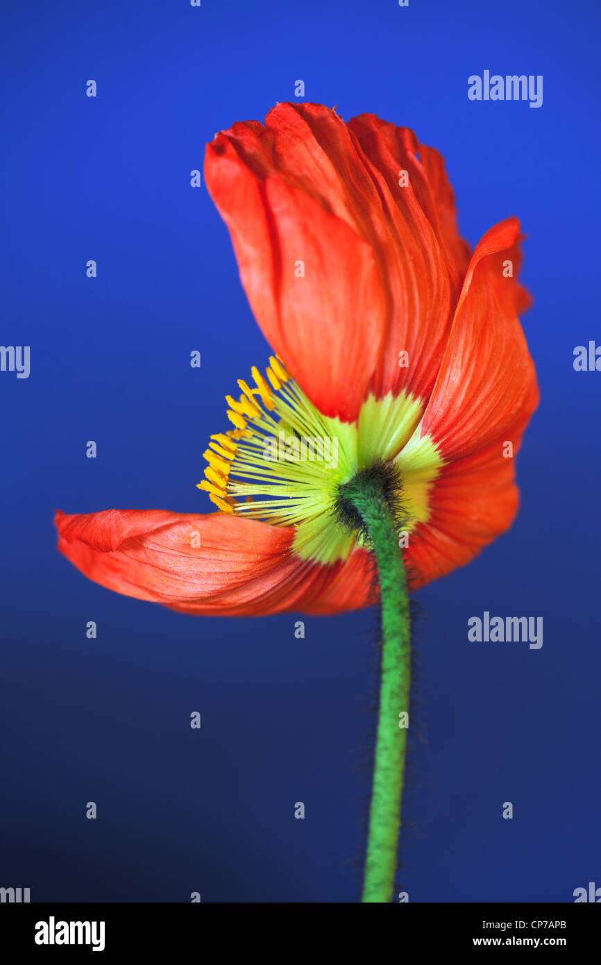 Papaver croceum, Papaver nudicale, coquelicot, pavot d'Islande, rouge, bleu. Photo Stock