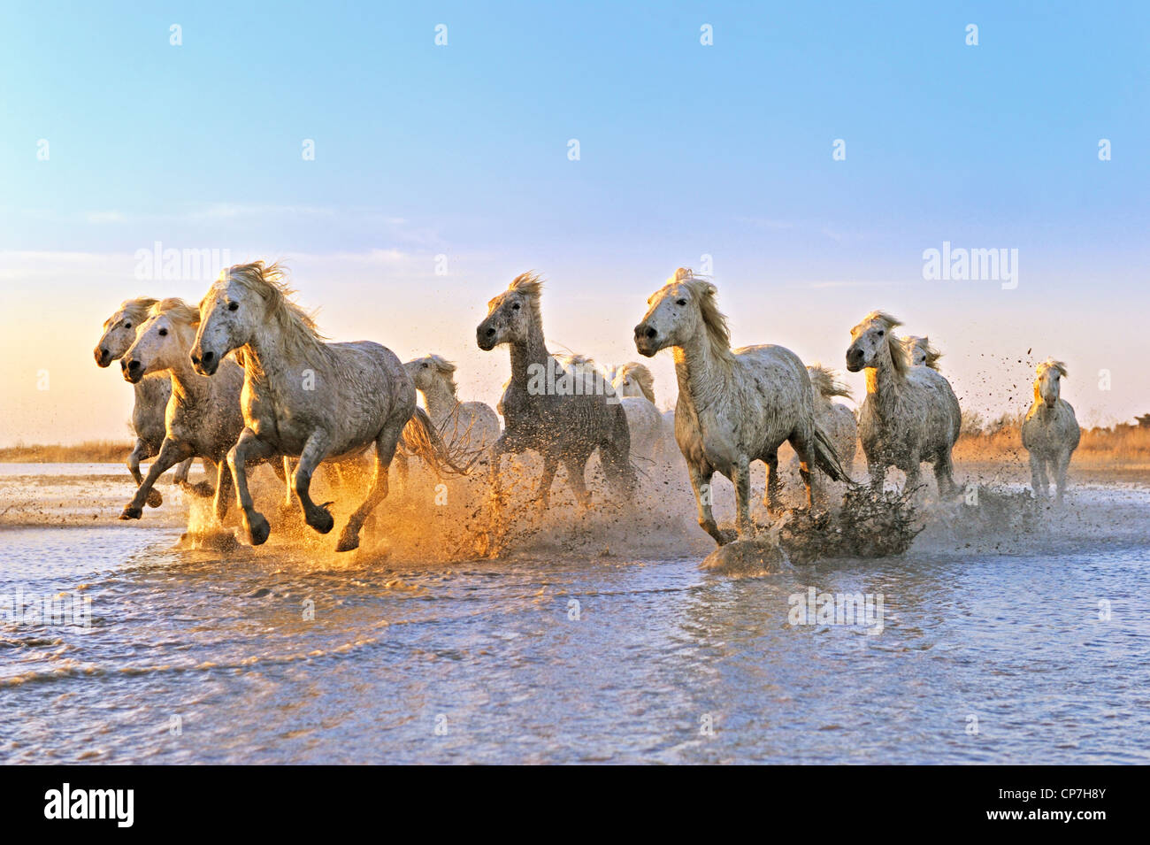 Cheval blanc dans la Camargue, France Photo Stock
