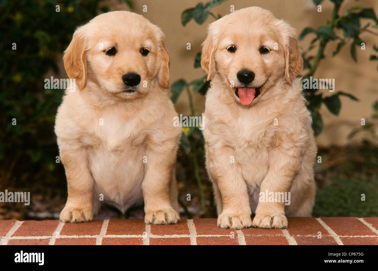 Deux chiots Golden Retriever sur rebord de brique Photo Stock