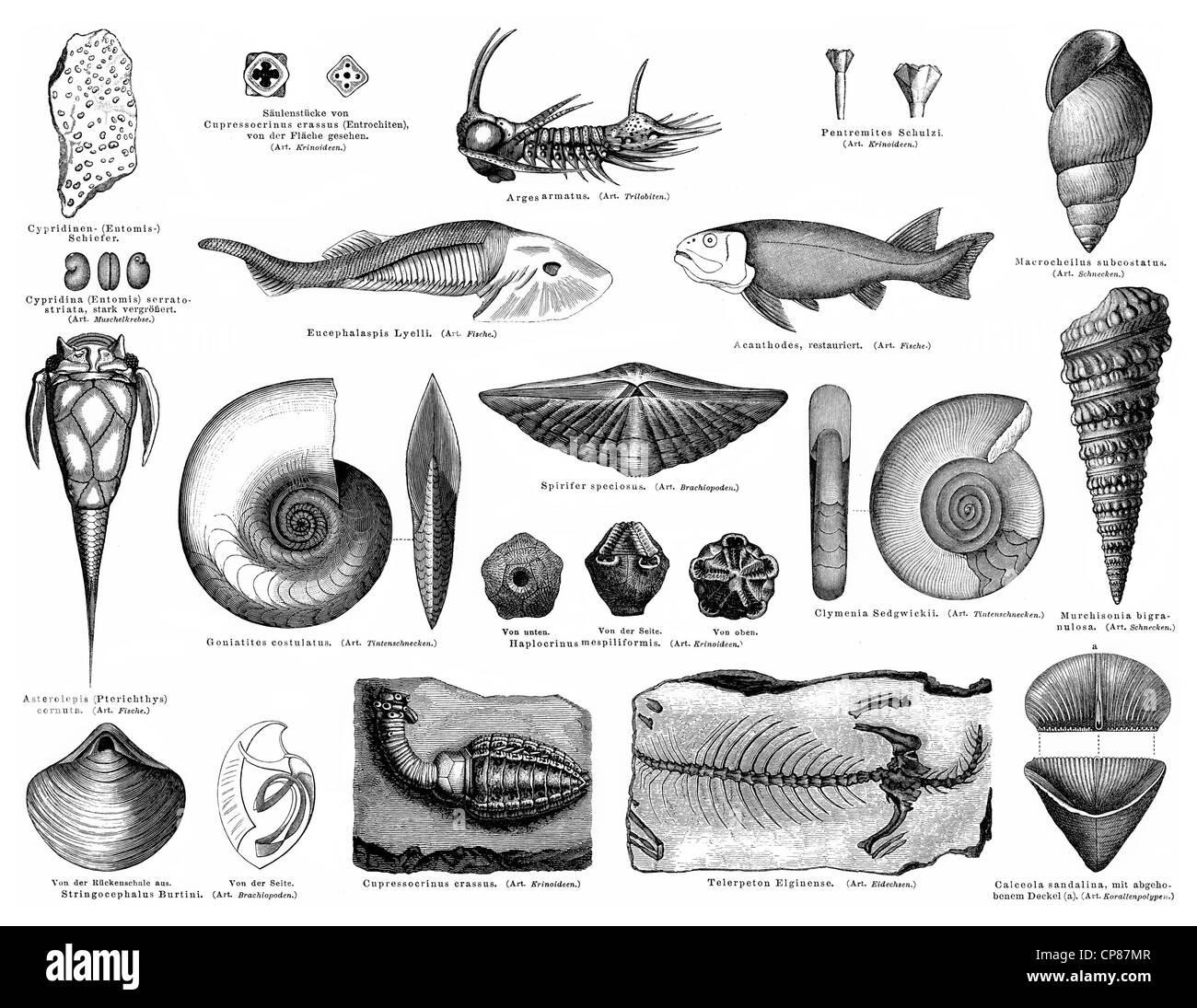 Fossiles du Dévonien inférieur ou la formation rhénane, strates entre système et du Silurien Photo Stock