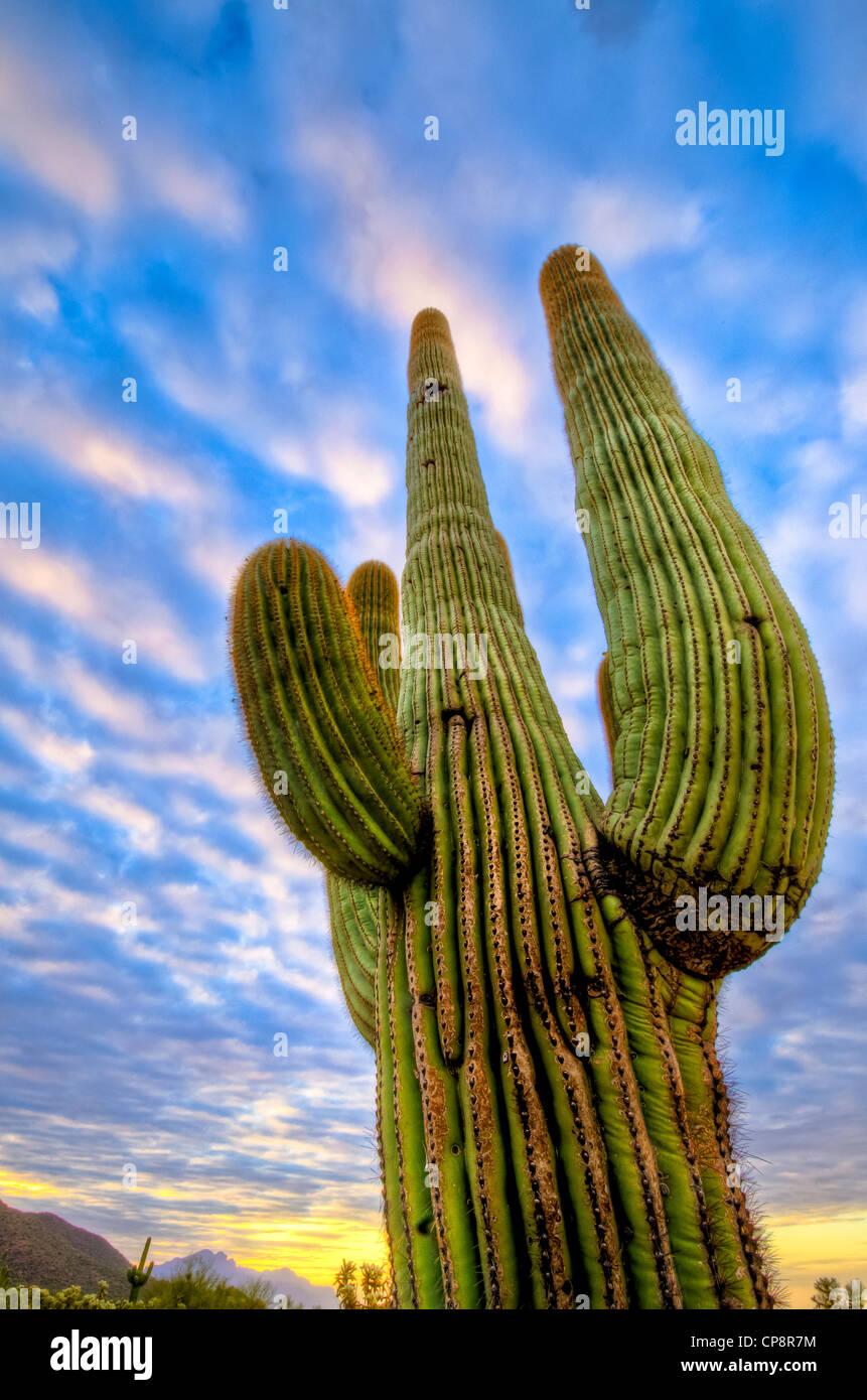 Énorme merveilleux Saguaro Cactus dans le désert de Sonora de la partie sud-ouest de l'Amérique. Photo Stock