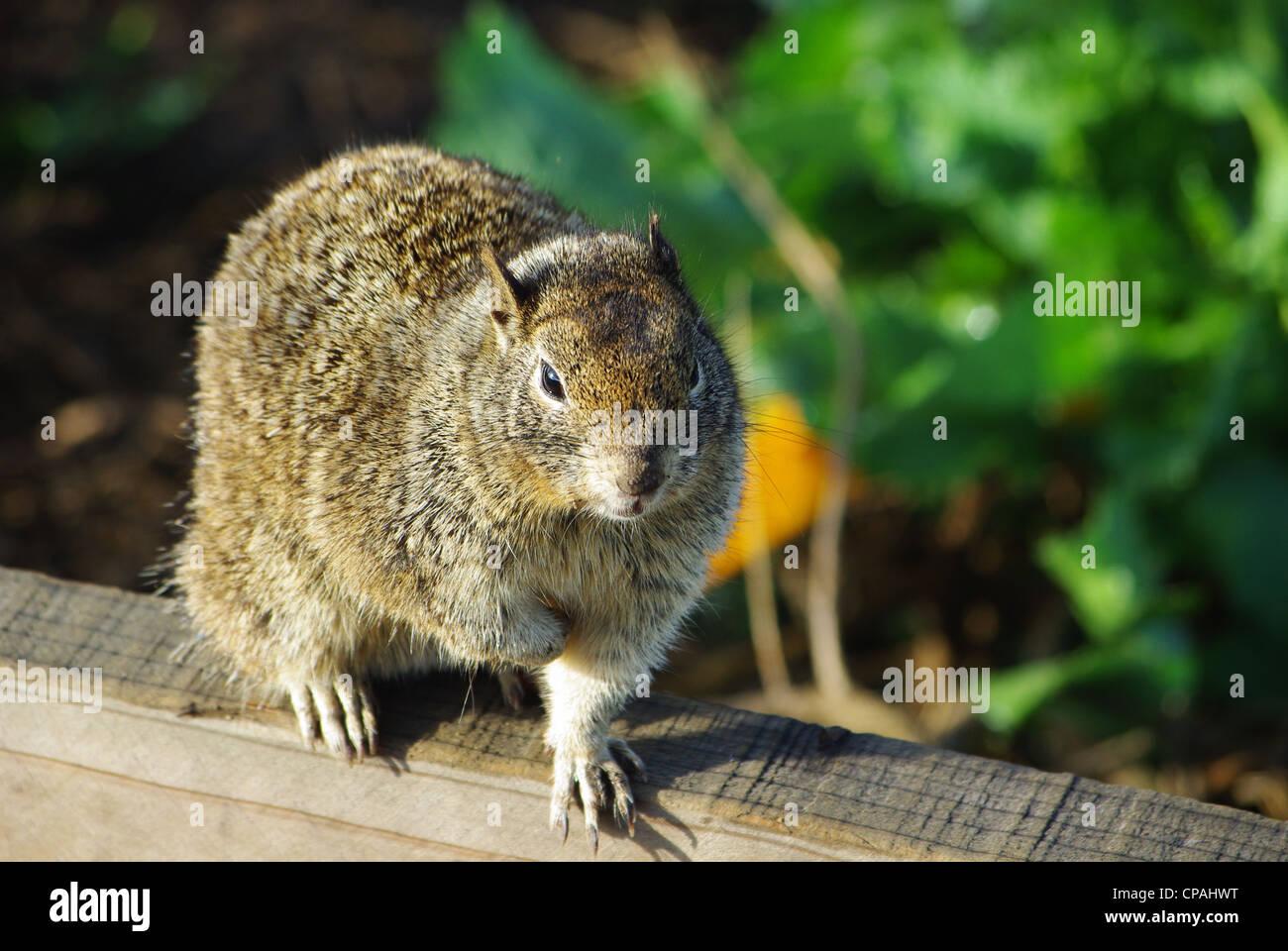 L'écureuil, Californie Photo Stock