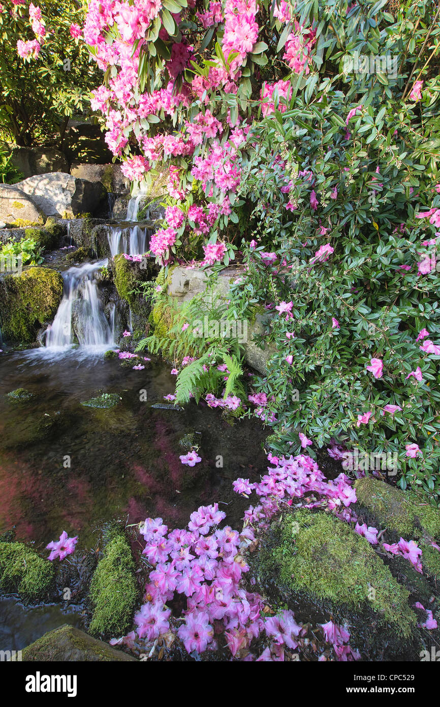 Rhododendron en fleurs fleurs de printemps en cascade par saison Photo Stock