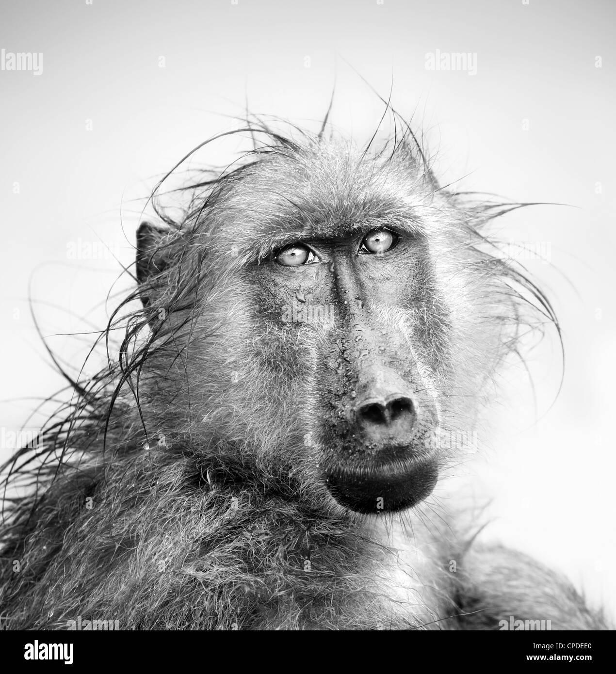 Le babouin dans la pluie (traitement artistique) Banque D'Images