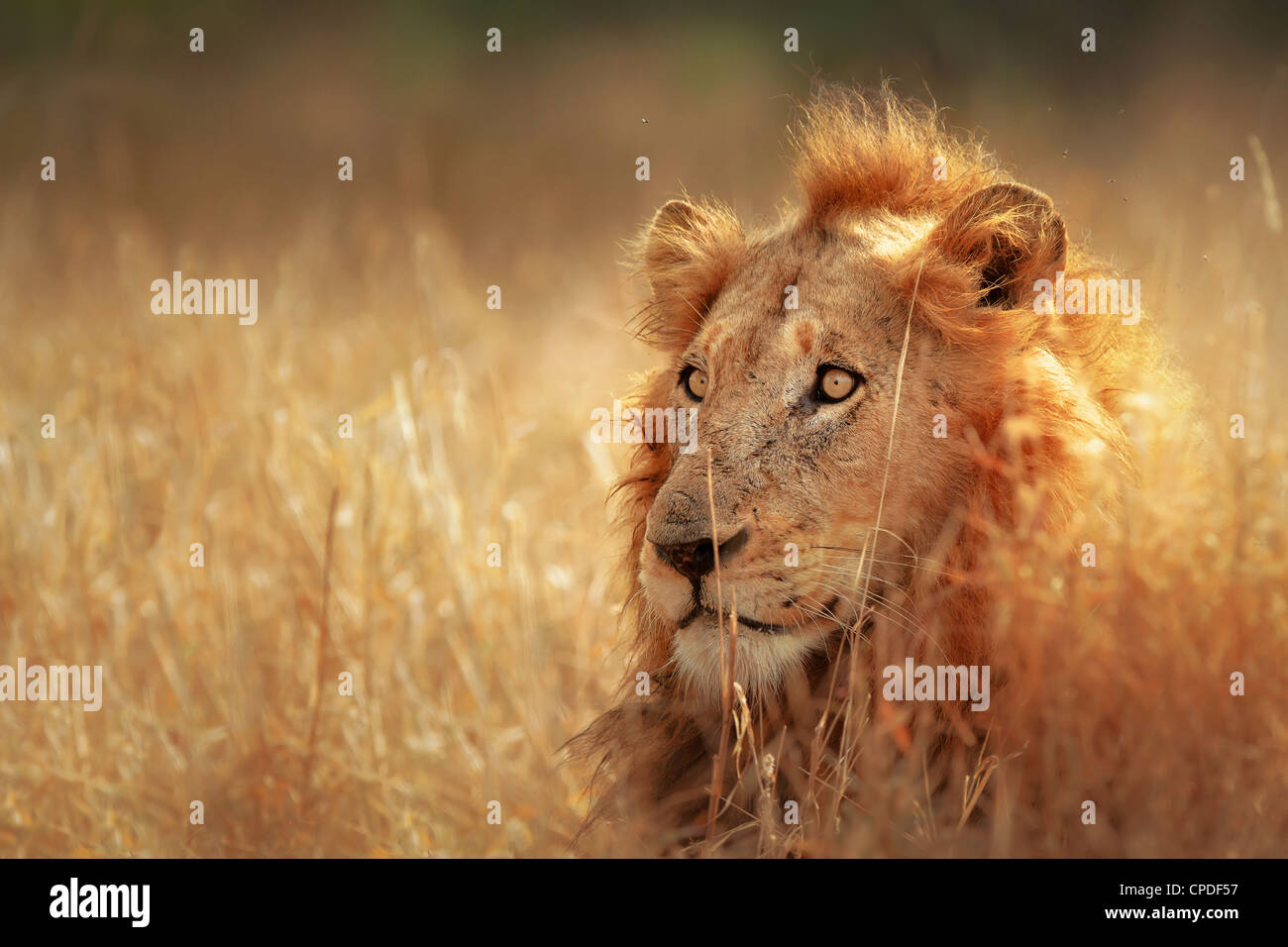 Grand mâle lion couché dans la prairie dense - Parc National Kruger - Afrique du Sud Photo Stock