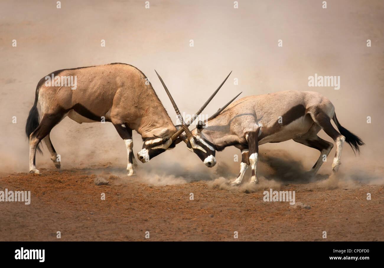Lutte intense entre les deux hommes sur les plaines poussiéreuses de Gemsbok d'Etosha Photo Stock