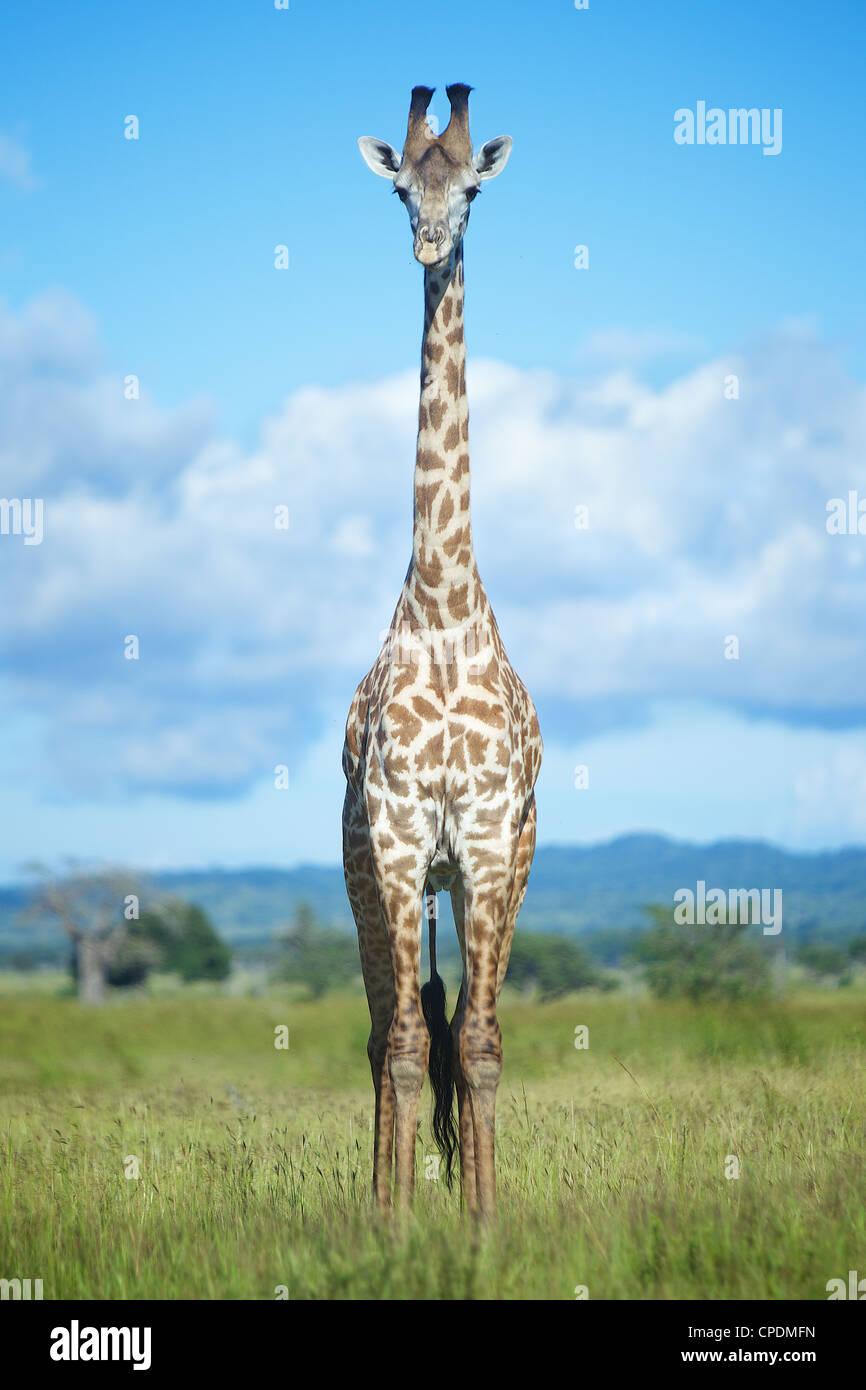 Girafe Giraffa camelopardalis dans Game Reserve Mikumi . Le sud de la Tanzanie. Afrique du Sud Photo Stock