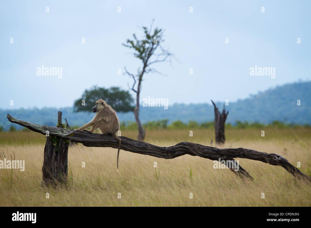 Le babouin Papio cynocephalus jaune 'cheval de bois ' parc national de Mikumi.Tanzanie Afrique. Photo Stock
