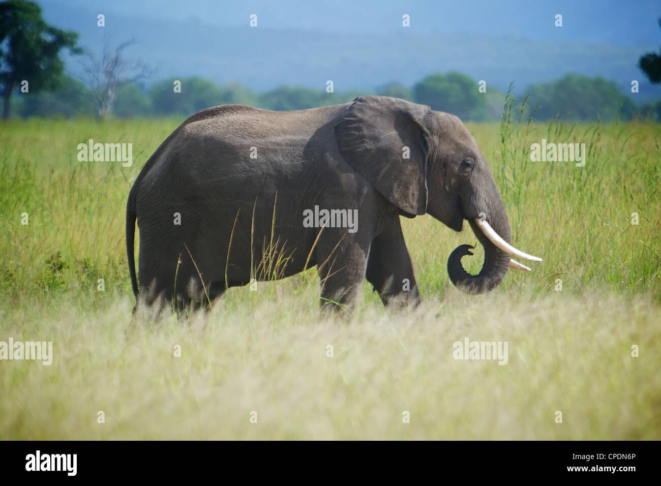 l 39 l phant d 39 afrique loxodonta africana parc national de mikumi tanzanie afrique banque d 39 images. Black Bedroom Furniture Sets. Home Design Ideas