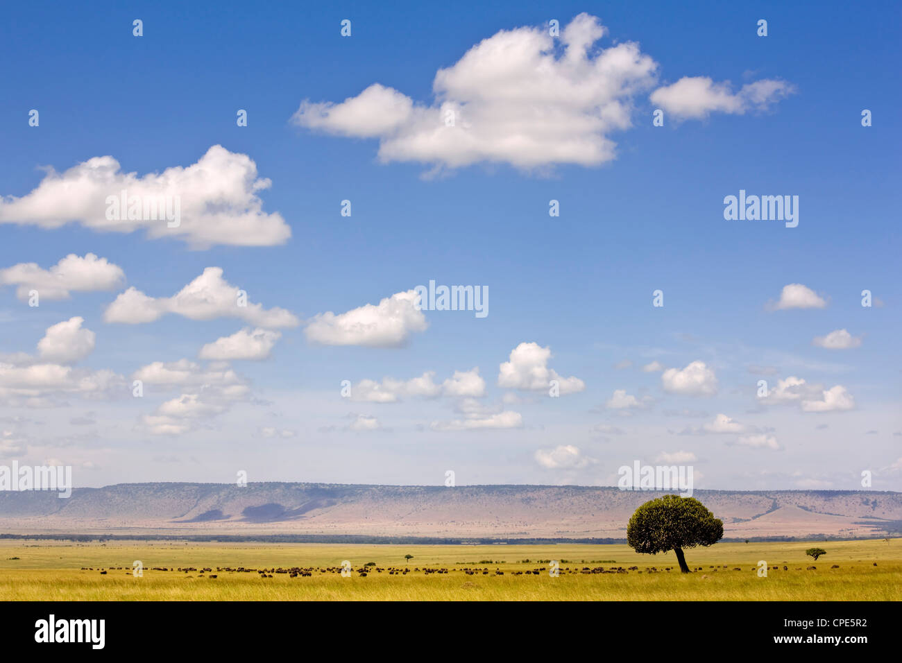 Un troupeau de bisons éclipsées par l'immensité de la plaine de Masai Mara, Kenya, Afrique de Photo Stock