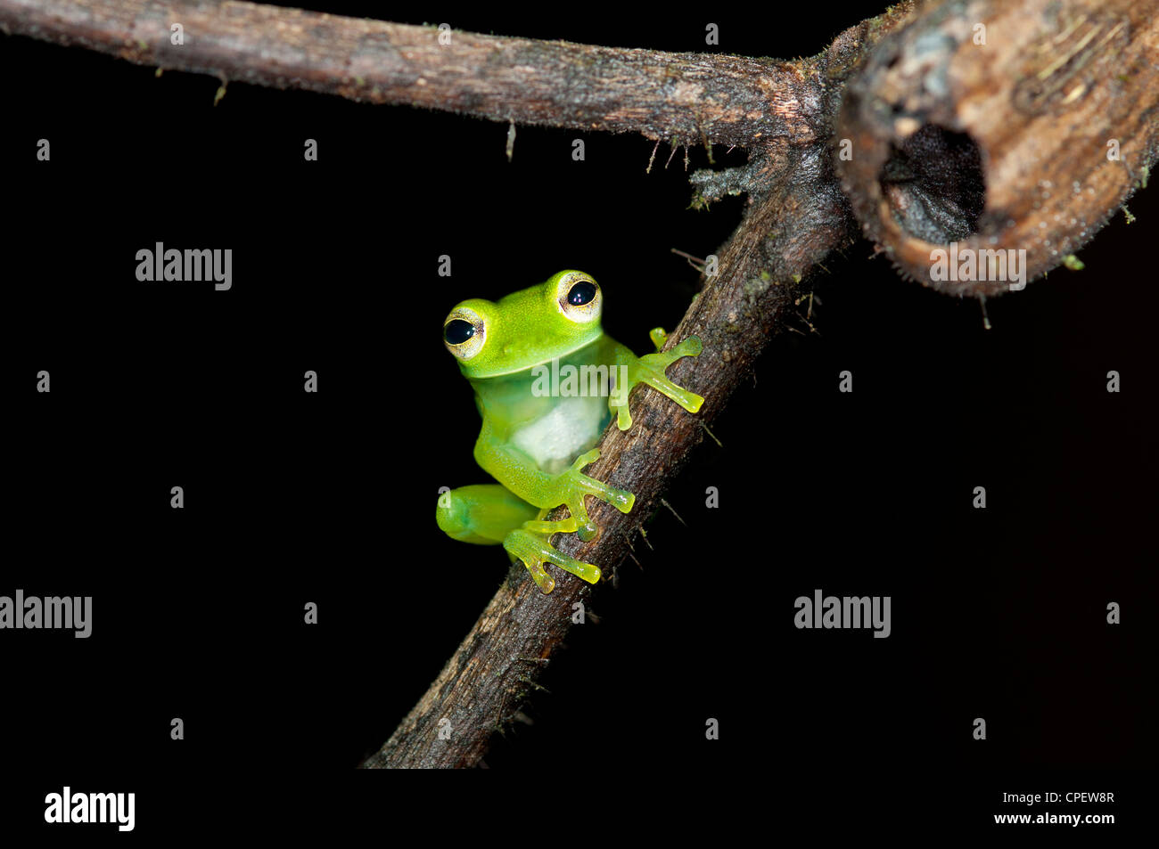 Glas frog Cochranella midas, assis sur une branche dans la forêt tropicale de Tiputini, Parc national Yasuni, en Banque D'Images