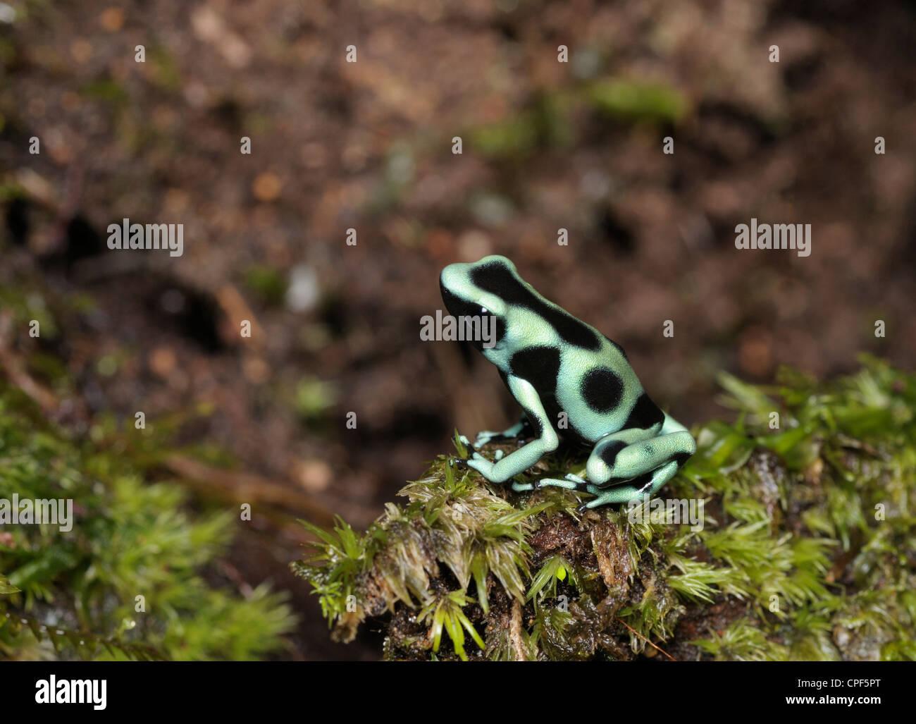 Noir et vert grenouille Dendrobates auratus, Poison, dans les forêts tropicales, Chilamate, Costa Rica Photo Stock