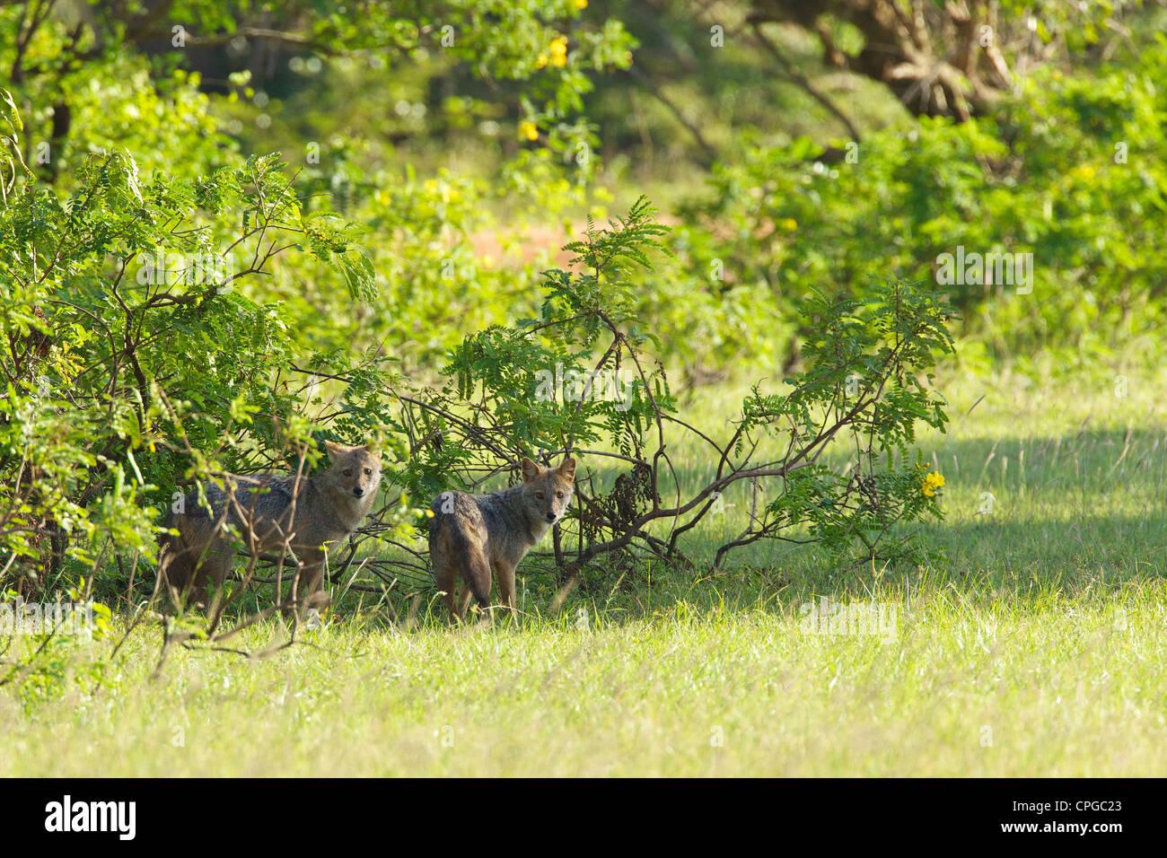 Du sud de l'Inde ou du Sri Lanka, Chacal Canis aureus naria, parc national de Yala, au Sri Lanka, en Asie Banque D'Images