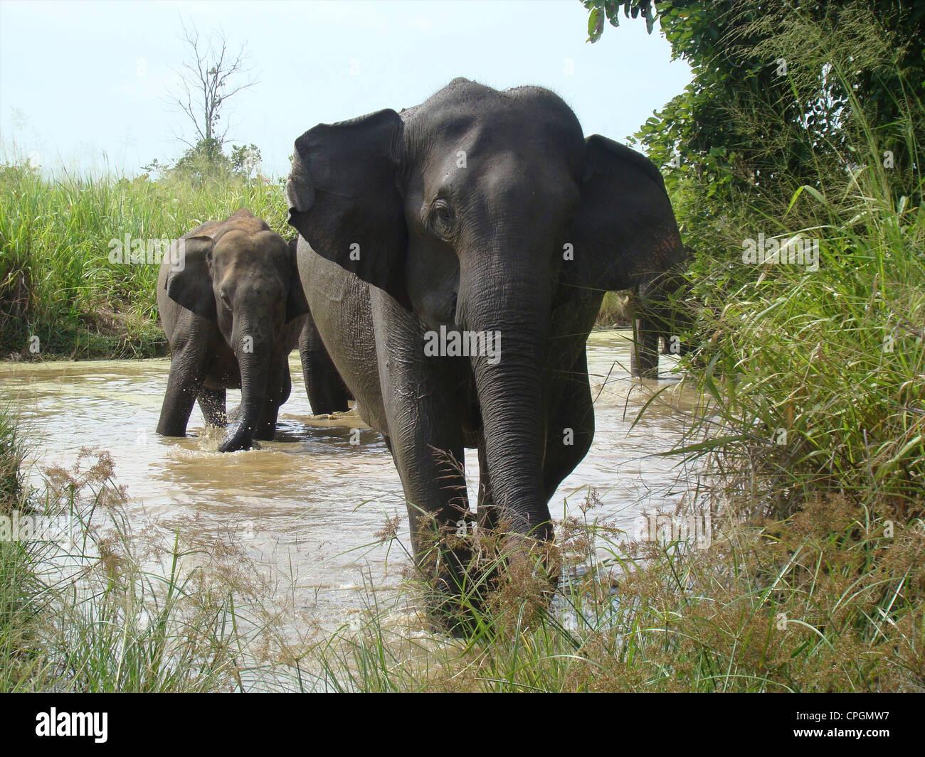 L'éléphant d'Asie, Elephas maximus maximus, Parc National d'Uda Walawe, Sri Lanka, Asie Photo Stock