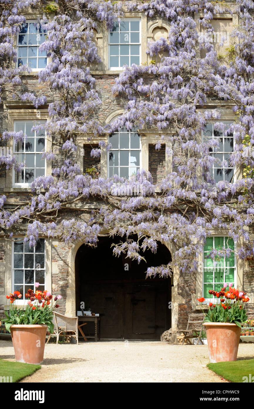 Wisteria sinensis se mélange avec un rosier grimpant à Hanham Court Gardens près de Bath, Royaume Photo Stock