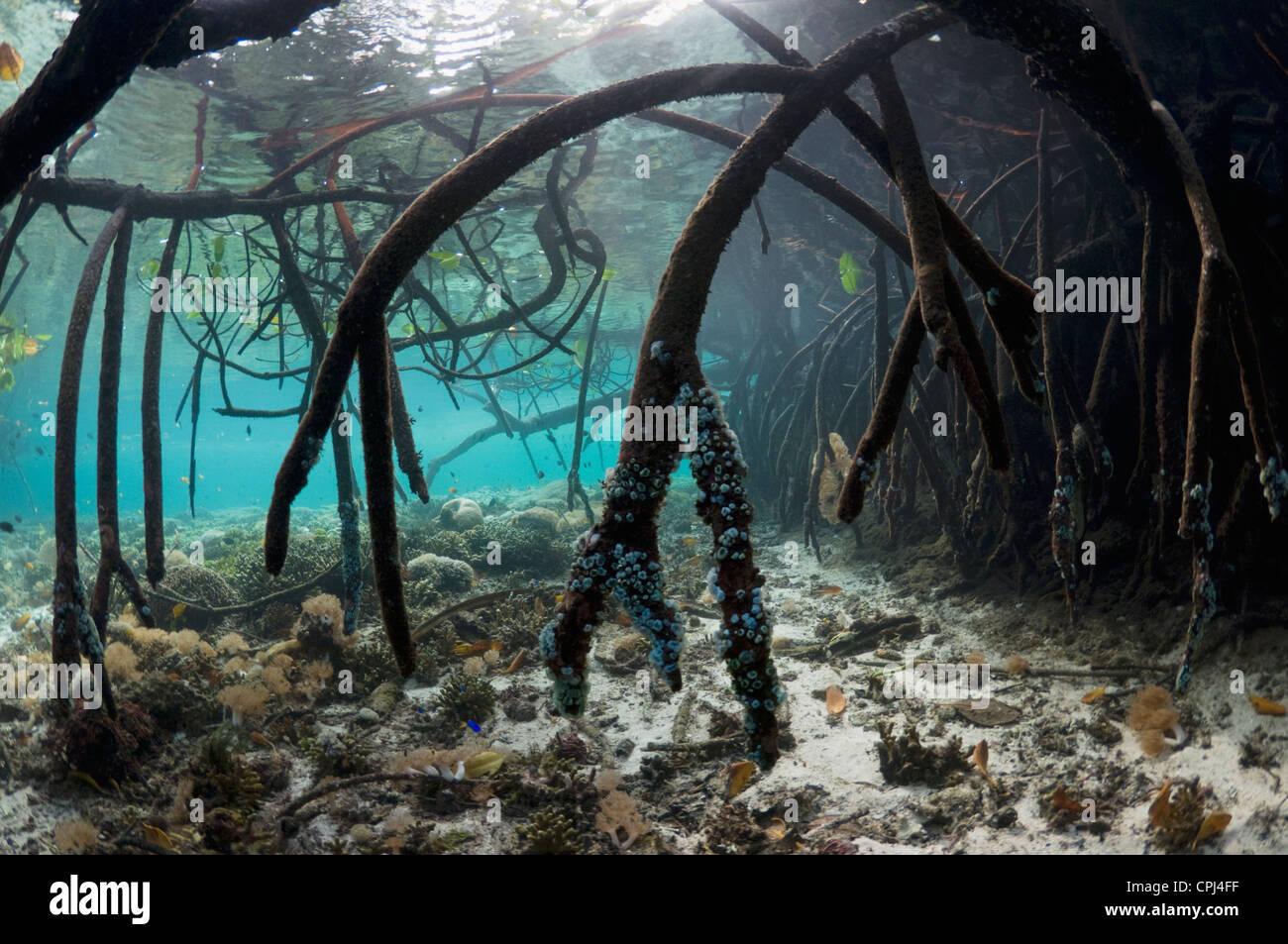 L'eau bleue à côté de la mangrove de coraux. Raja Ampat, Papouasie occidentale, en Indonésie. Photo Stock