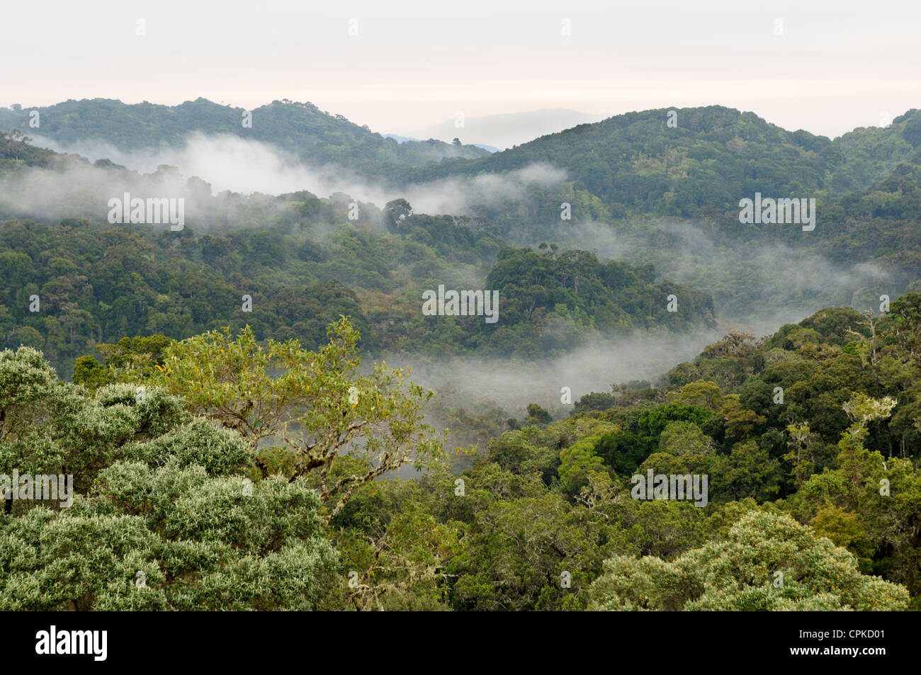 Forêt tropicale (cloudforest) à 10 000 pieds, le Parc National Los quetzales, Cerro de la Muerte, Costa Photo Stock