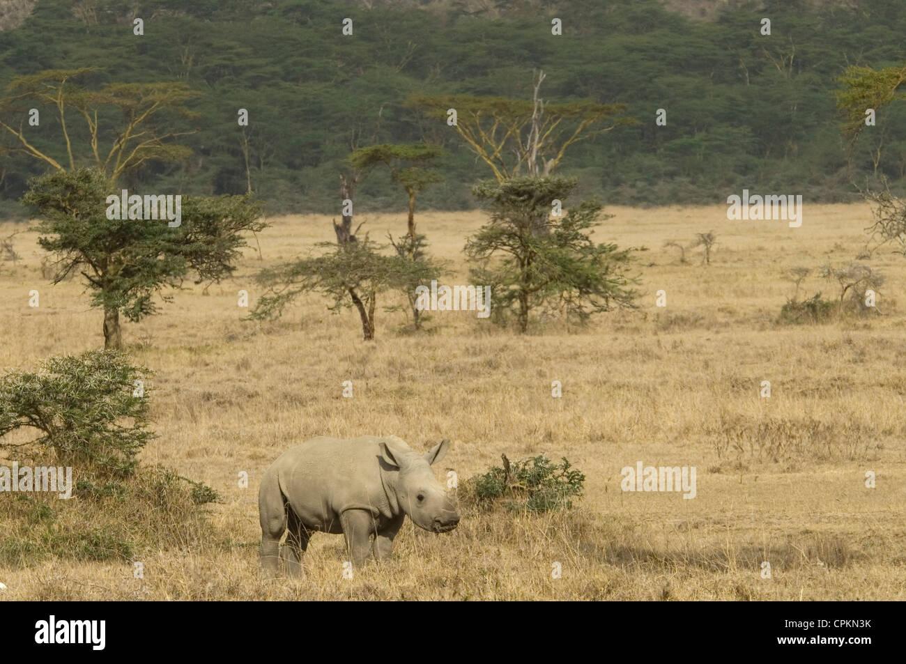 White Rhino calf en plaine Banque D'Images