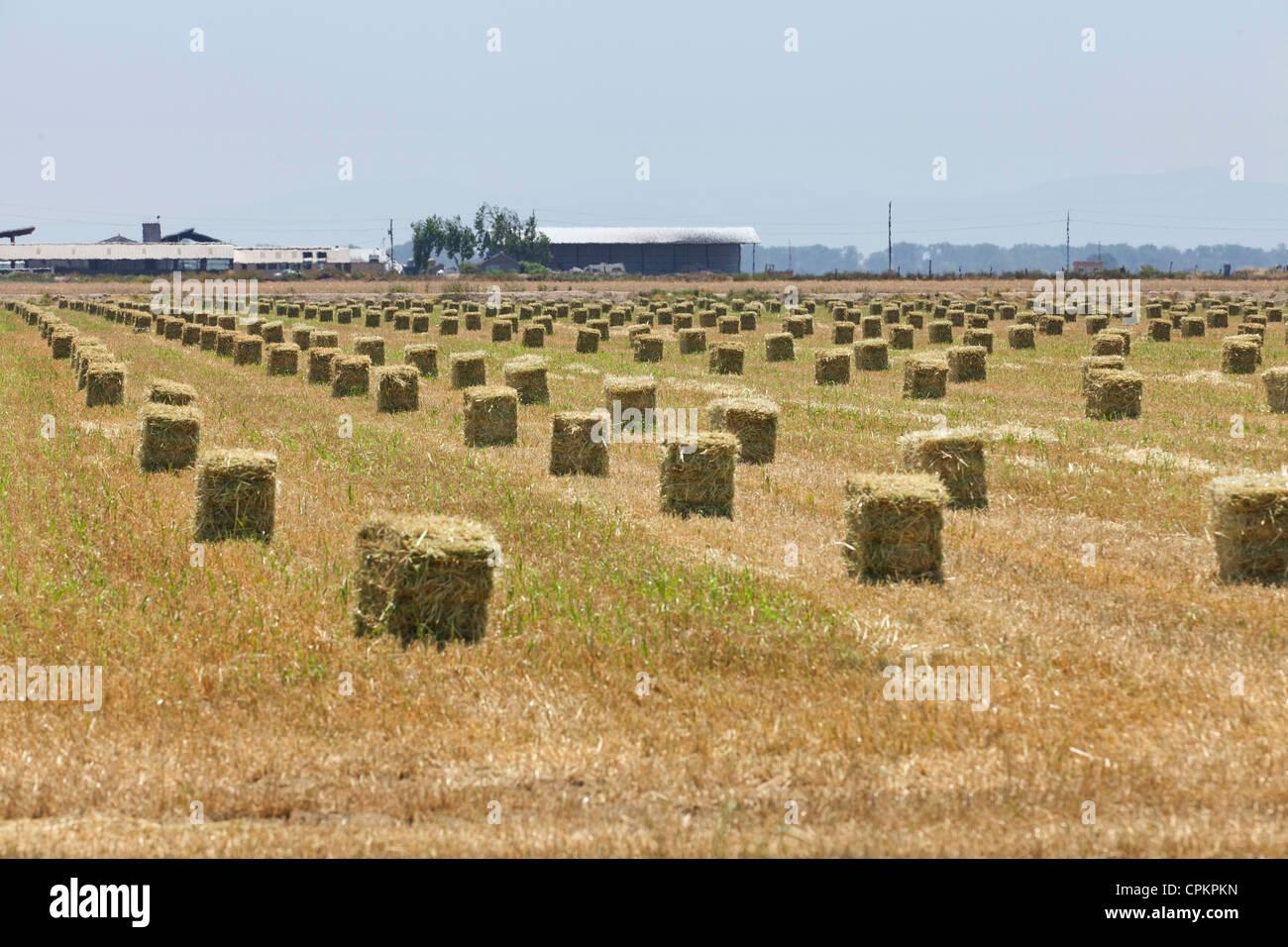 Bottes de foin sur les terres agricoles - California USA Photo Stock