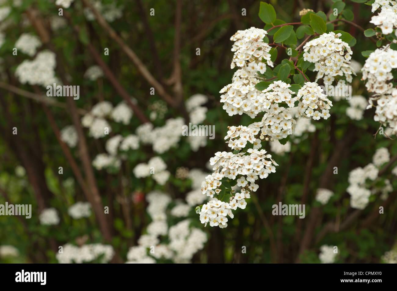 Salycylate photos salycylate images alamy - Arbuste a petites fleurs blanches ...