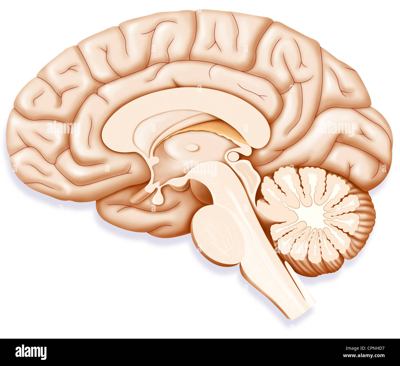 CERVEAU, DESSIN Photo Stock