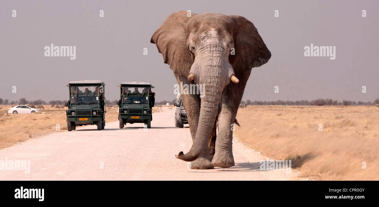 Cet éléphant mâle solitaire laisse un trou d'eau dans le parc d'Etosha, Namibie suivi d'véhicules Photo Stock