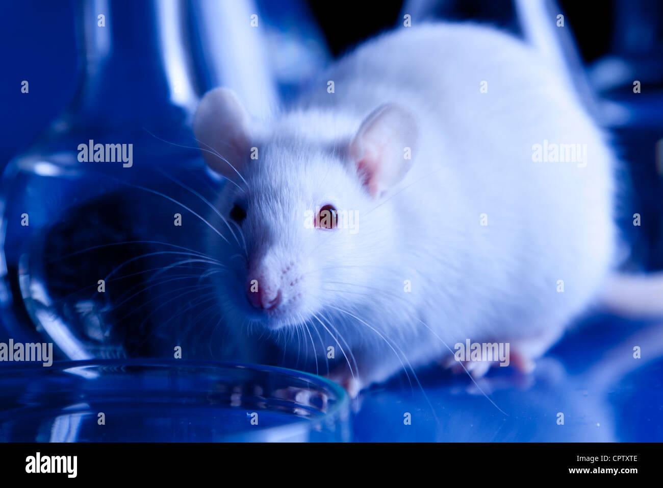 Les rats en laboratoire. Des expériences réalisées sur des animaux Photo Stock