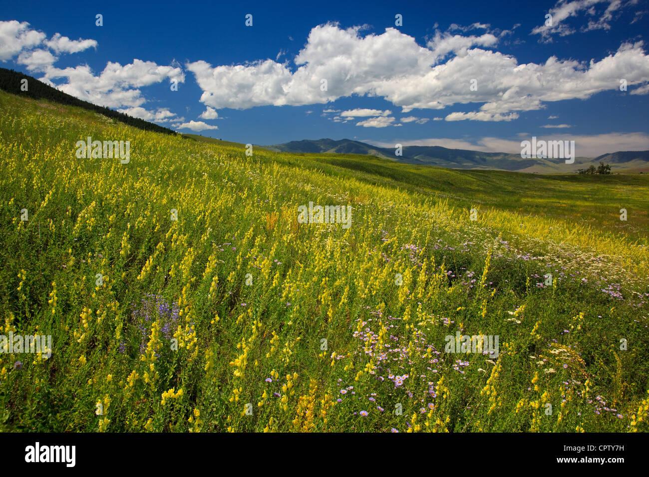 National Bison Range Wildlife Refuge des collines des prairies avec fleurs d'été sous les cumulus Photo Stock