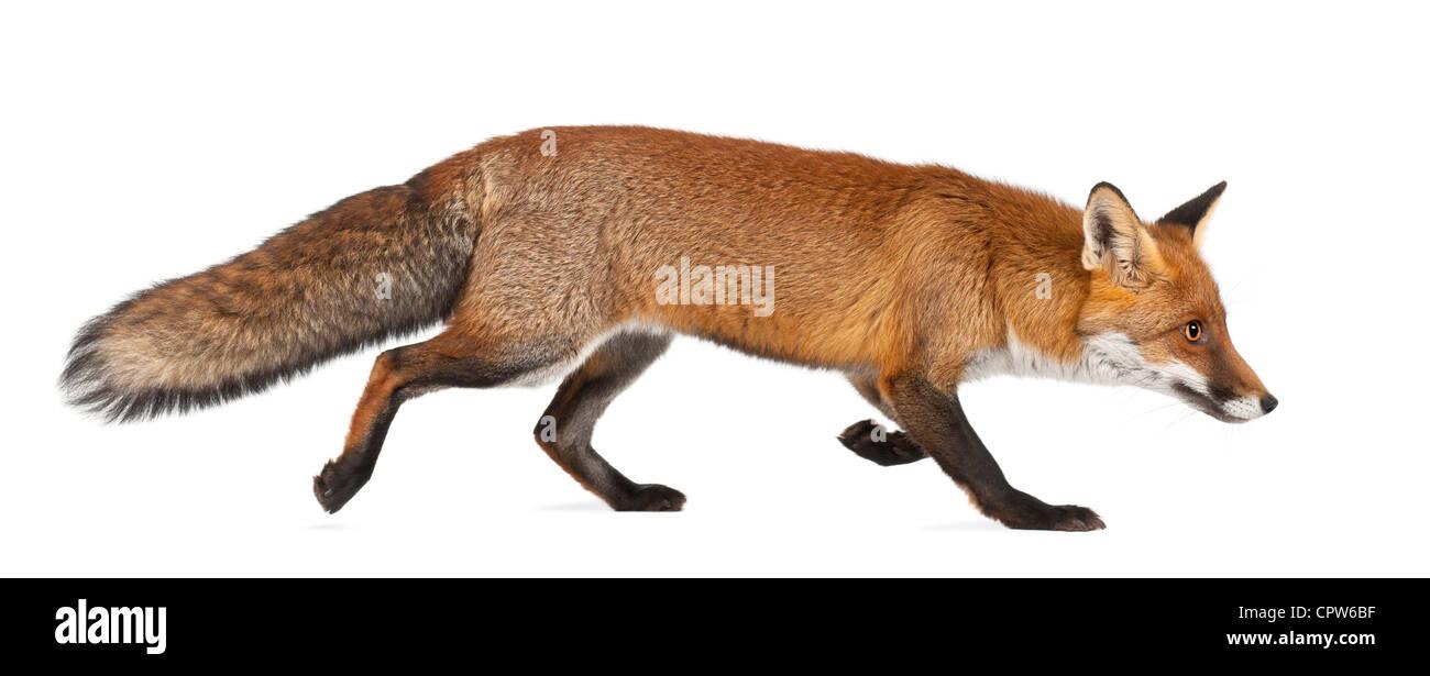 Le renard roux, Vulpes vulpes, 4 ans, marche contre fond blanc Banque D'Images