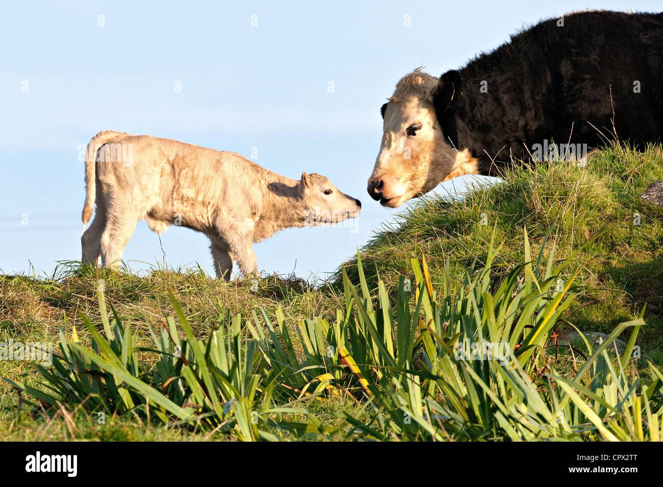 Vache et veau nouveau-né Photo Stock