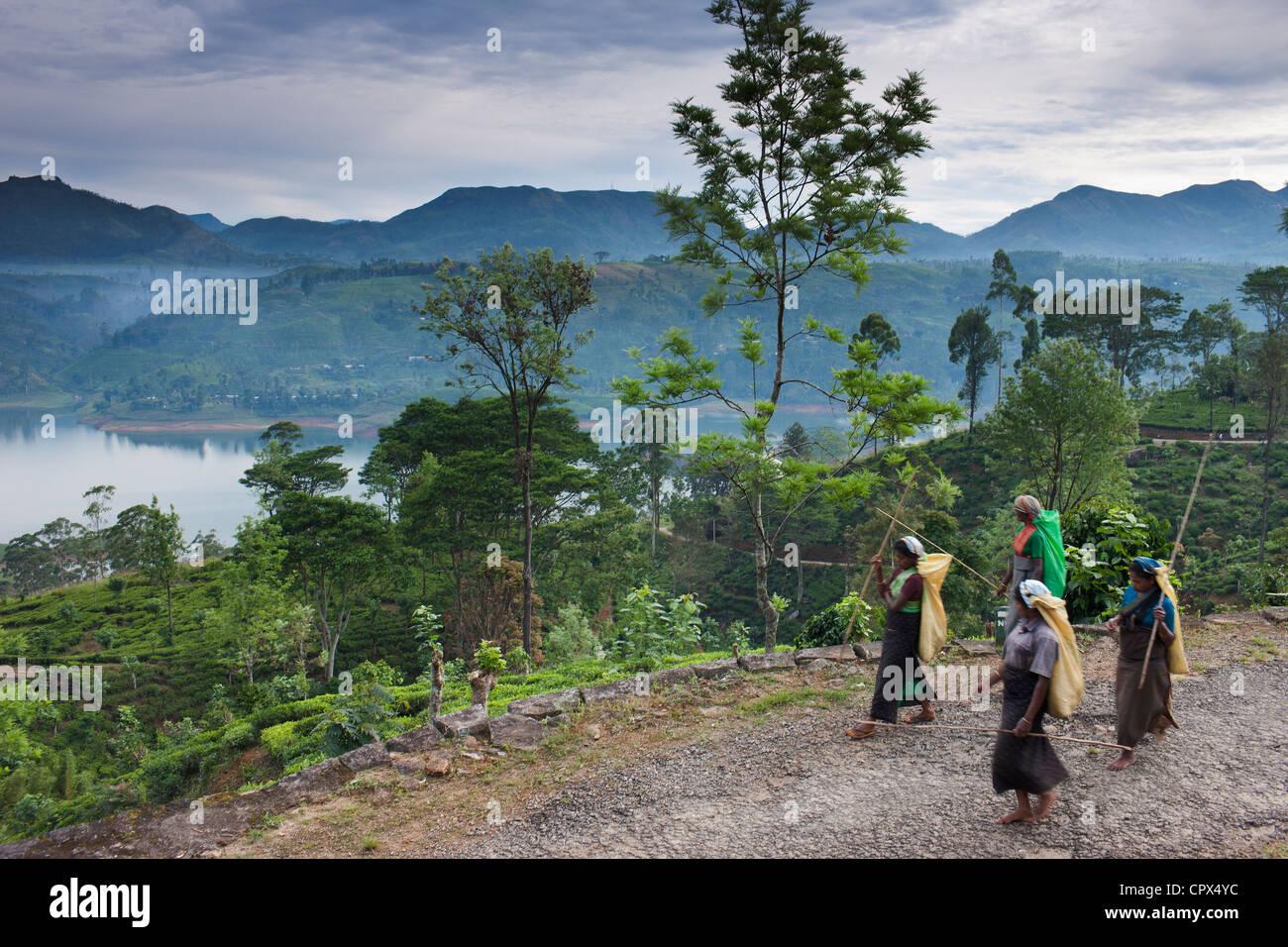 Cueilleurs de thé sur leur façon de travailler sur une plantation près de Hatton, hauts plateaux Photo Stock