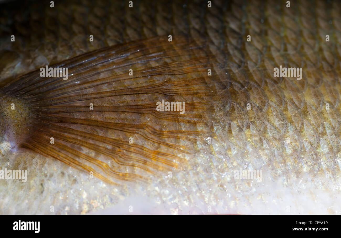 Les écailles de poisson et la peau d'une perche d'eau douce de 1,1 kg ( Perca fluviatilis ) Banque D'Images