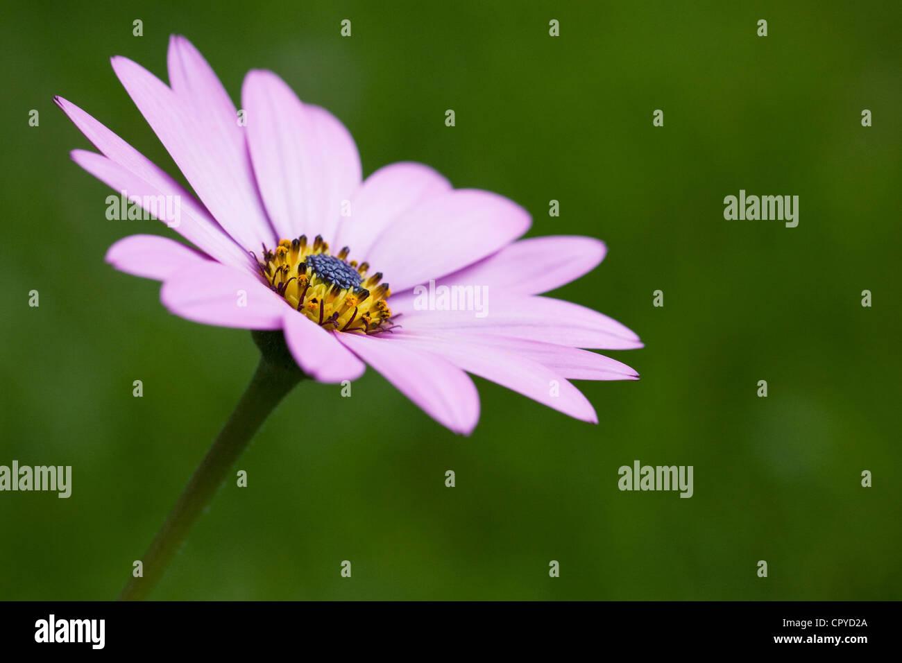 Ostéospermum ciliata Killerton 'Pink' fleurs dans le jardin. Cape daisy. Daisy africains. Photo Stock